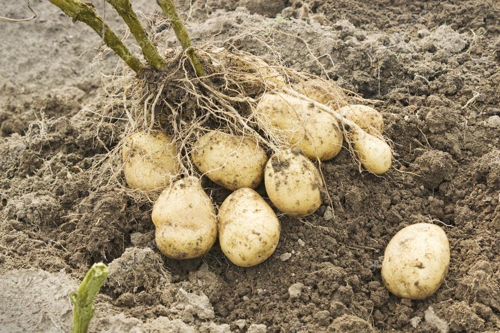 Выкопанный картофель