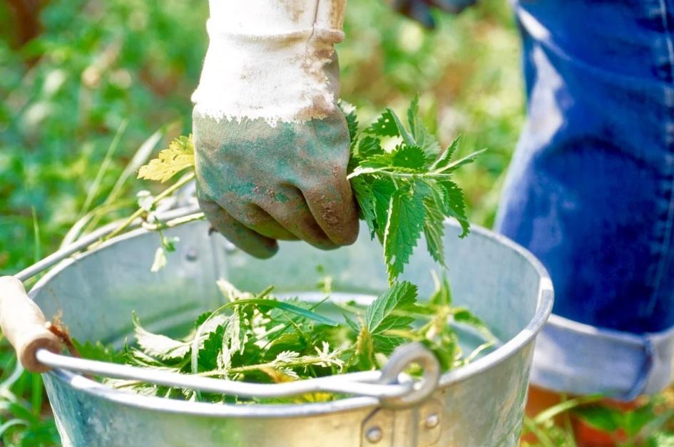 Как подкормить огурцы крапивой: как разводить, сроки применения