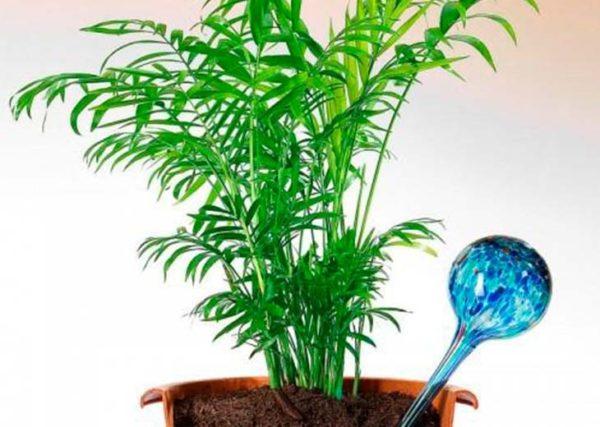 полив пальмы