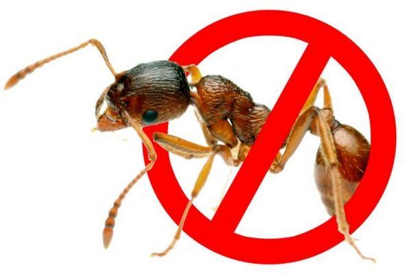 Как избавиться от муравьев на огурцах