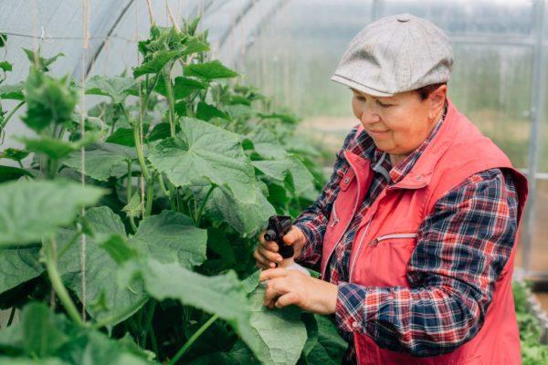 Сорта огурцов для северо запада ленинградской области