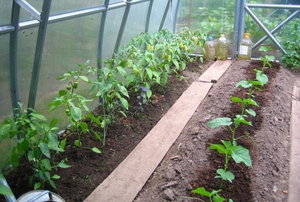 можно ли выращивать морковь в теплице