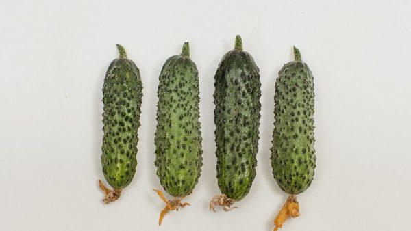 Огурцы темп характеристика и описание сорта выращивание с фото