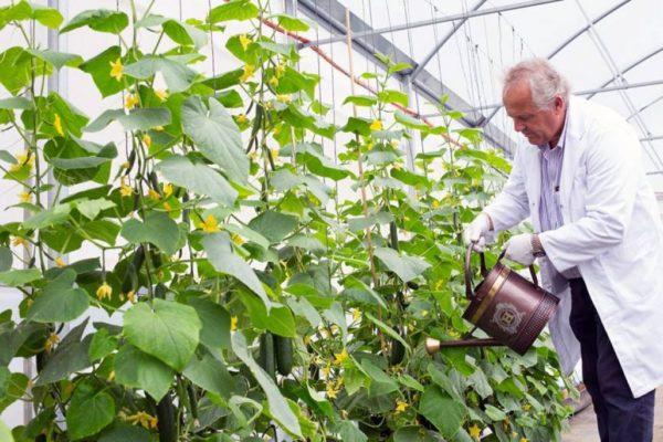 Какие сорта огурцов можно выращивать в один стебель?
