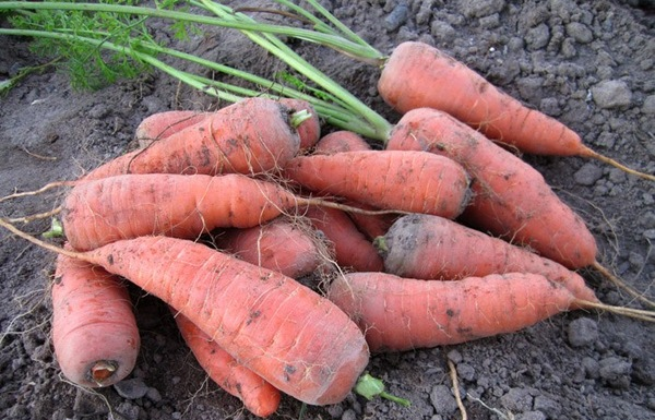 почему растут корявые плоды у моркови