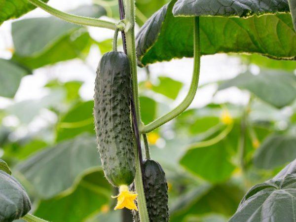 Огурцы Адам F1: описание сорта, фото, выращивание и уход
