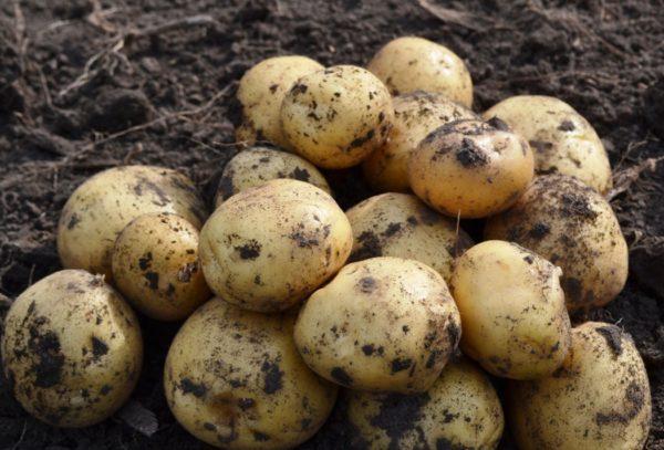 высокоурожайный сорт картофеля