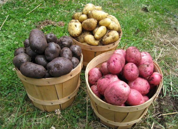 Картошка сорта каталог