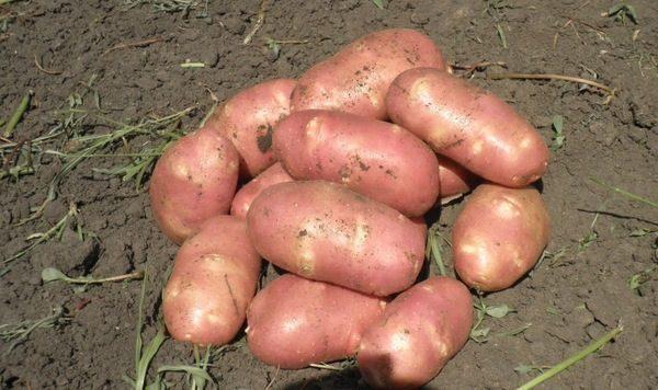 Название сорта картофеля с розовыми глазками