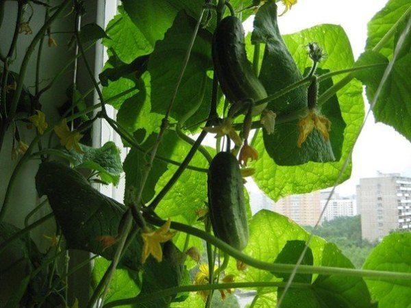 Причины почему у огурцов белеют листья и что делать для лечения