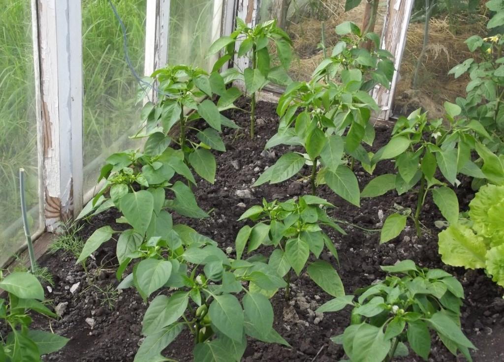 Перец плохо растет после высадки в теплицу: причины, что делать, чем подкормить