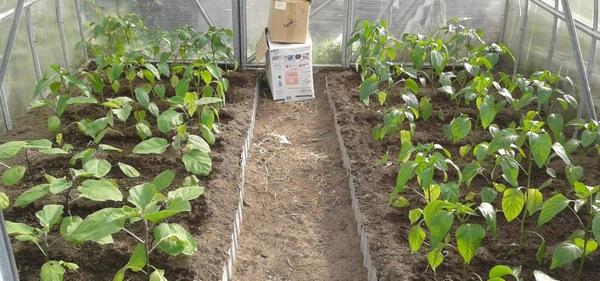 можно ли выращивать перец и баклажаны в одной теплице