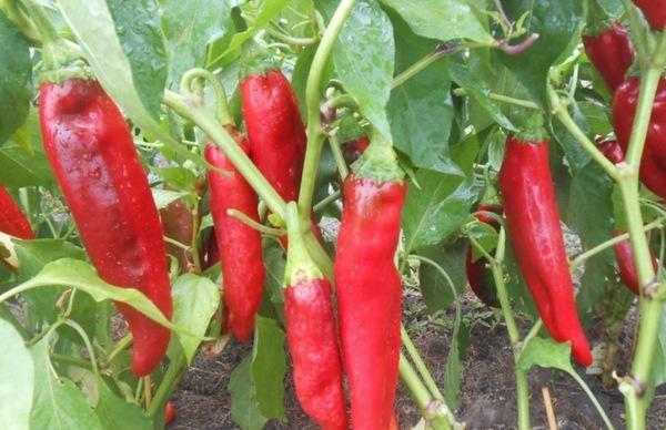 особенности выращивания горького перца