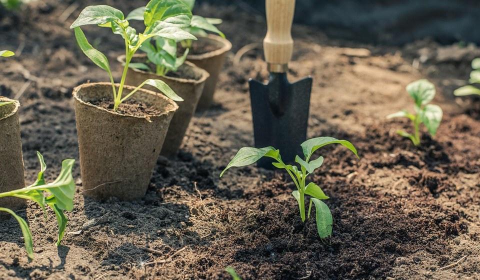 Высаживать рассаду перца