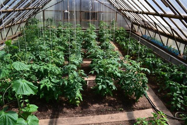 перец и помидоры в одной теплице