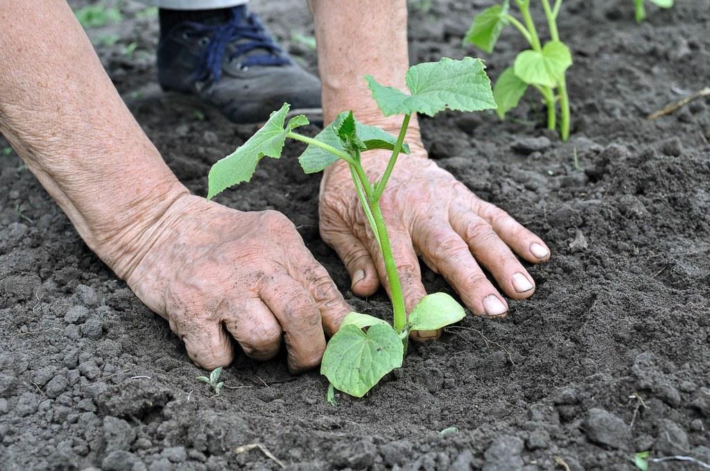 Посадить переросшую рассаду огурцов