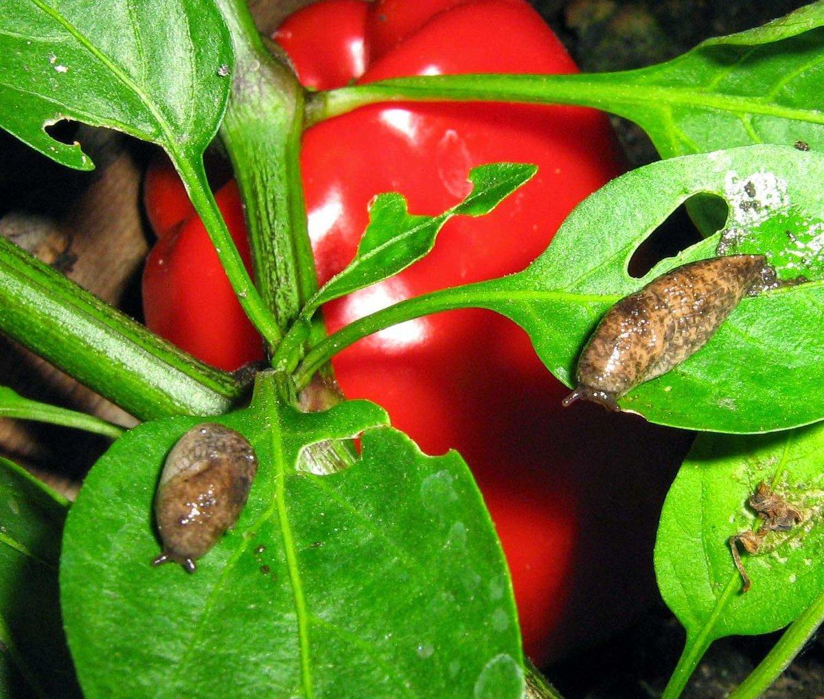 Вредители болгарского перца