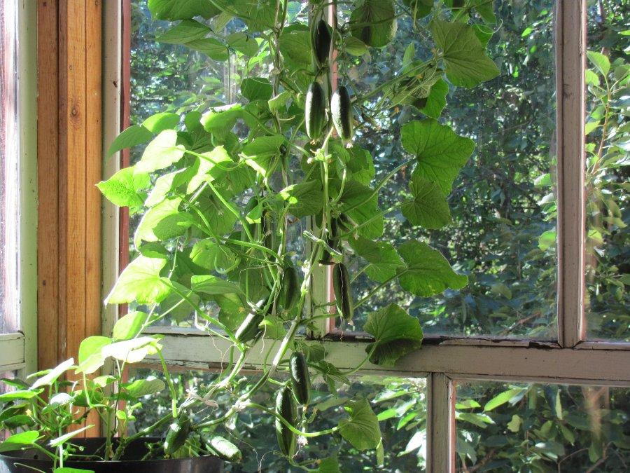 Выращиваю огурцы на подоконнике почему огурчики засыхают