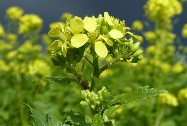 gorchica cvet
