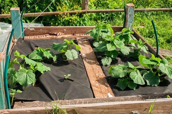 выращивание огурцов под укрывным материалом