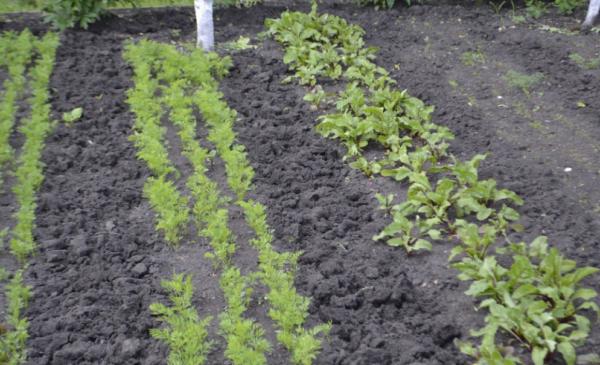Как посадить корнеплоды с осени