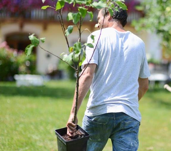 Когда лучше пересаживать плодовые деревья весной или осенью