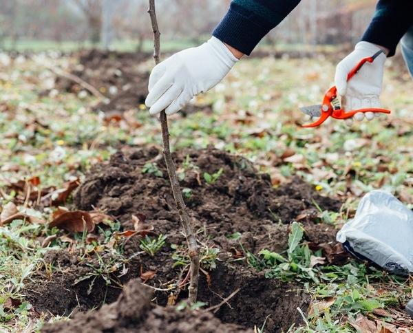 сажать деревья в саду осенью