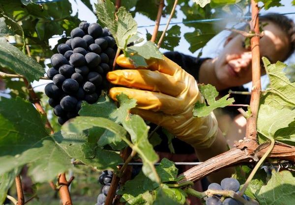Правила сбора винограда для вина