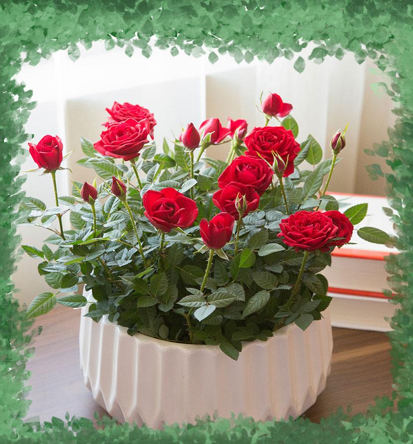 картинки с розами домашними особой конструкции небольшая