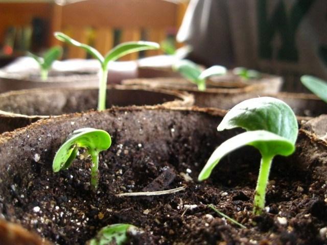 через сколько проклевываются семена огурцов при замачивании