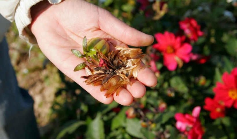 собрать семена цветов