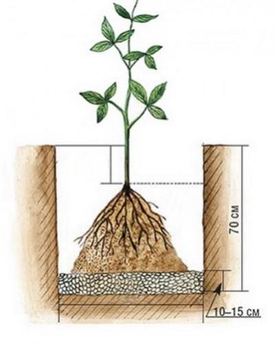 Клематисы: посадка и уход в открытом грунте