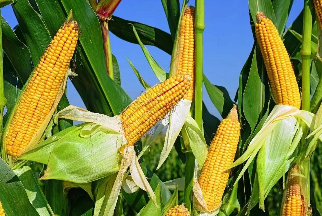 Кукуруза в открытом грунте
