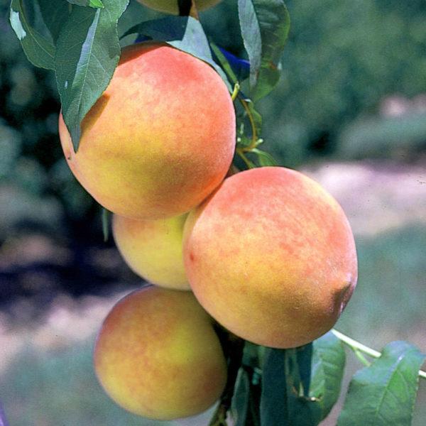 Уход за молодым персиком