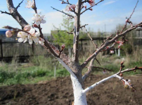 Обрезка персика весной