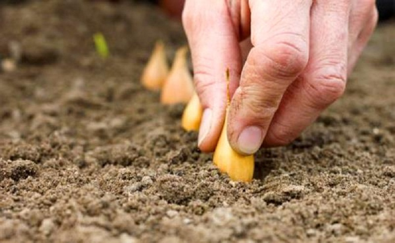 Как вырастить капусту в открытом грунте, а также особенности ухода за растением, в том числе в Украине, Подмосковье и в других регионах