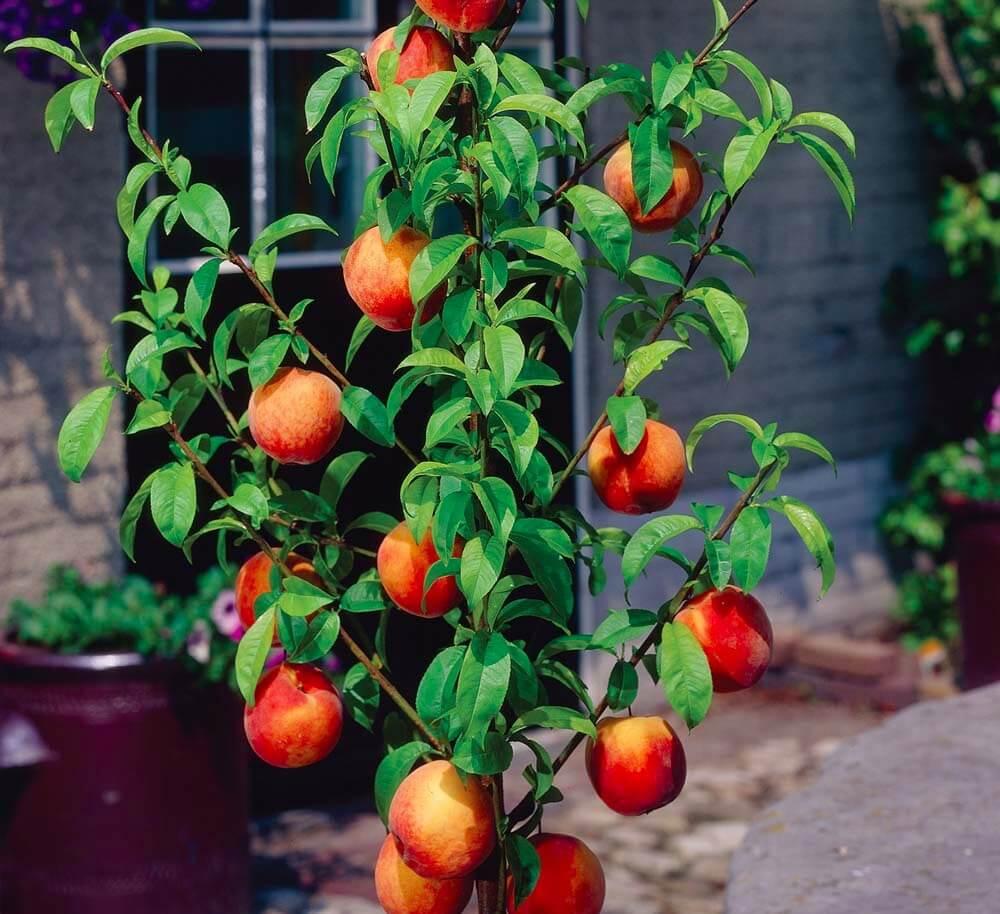Правила выращивания колоновидного персика