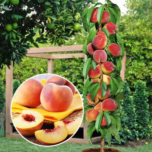 Как вырастить и обрезать персик