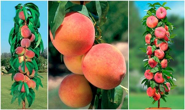 Лучшие сорта колоновидных персиков