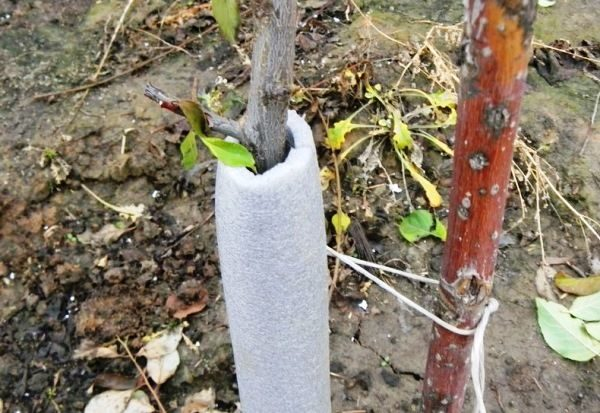 Подготовка персика к зиме как правильно укрыть и утеплить