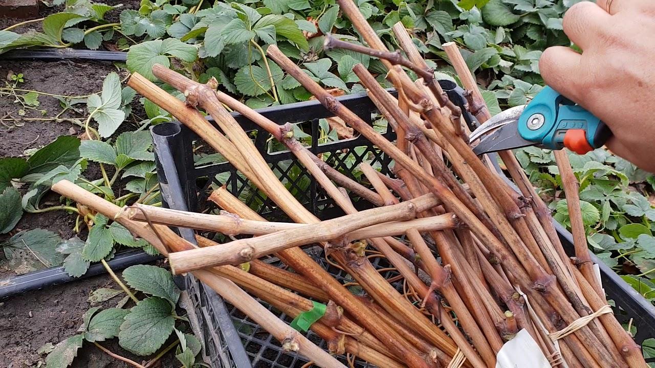 Осень: пора срезать чубуки винограда для посадки весной