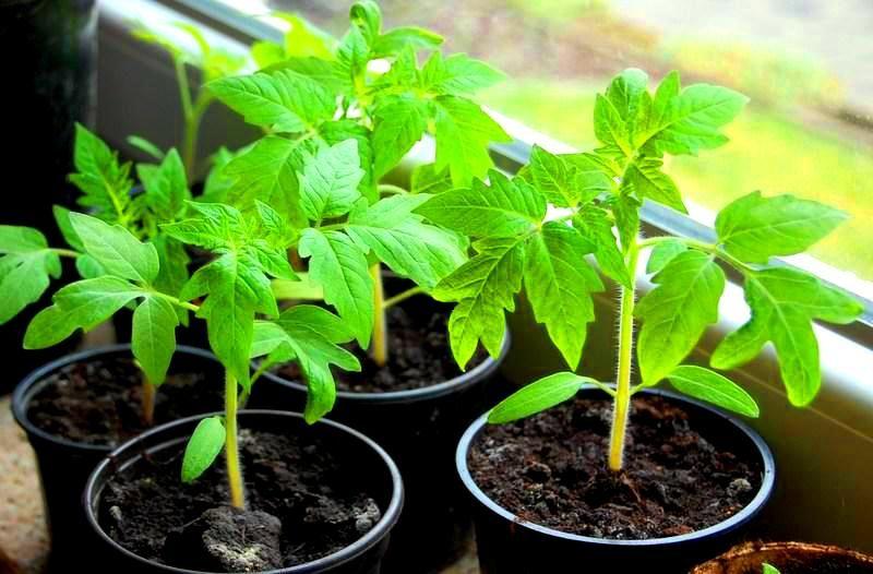 Как вырастить крепкую рассаду: важные условия