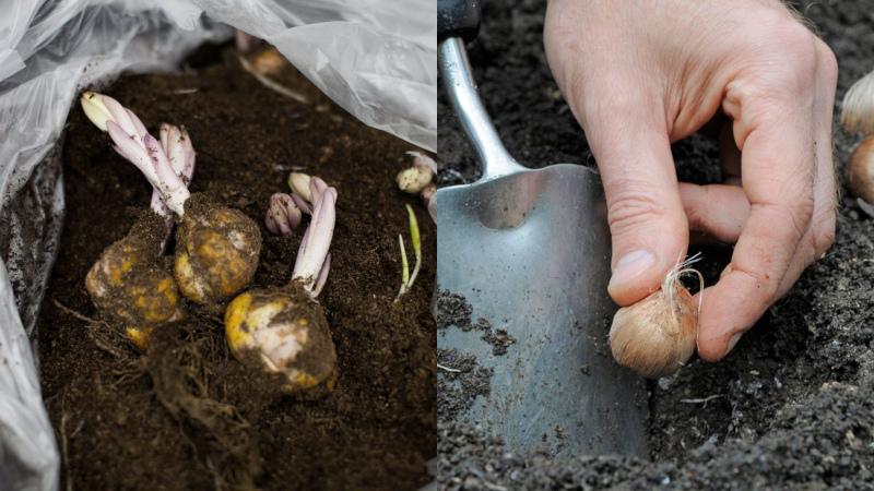 Почему эустому стоит посадить осенью и как правильно это сделать