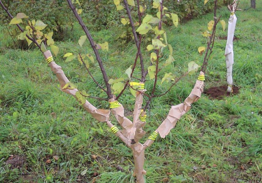 Укрываем абрикос: как защитить дерево от морозов