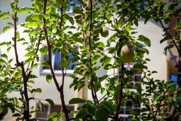 молодое дерево груша