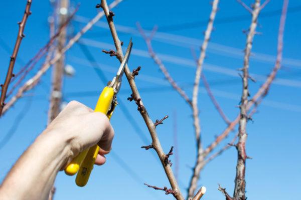 Когда подрезать сливу весной или осенью