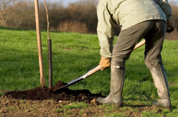 Как посадить сливу осенью пошаговое руководство