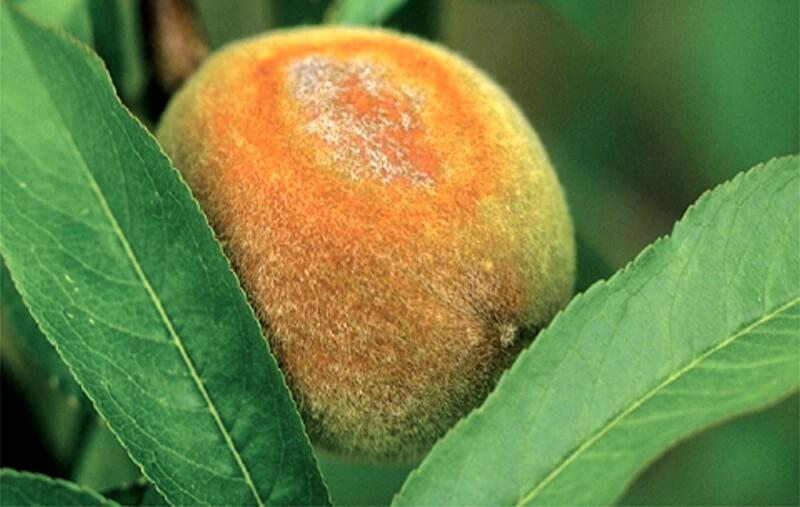 Болезни персика