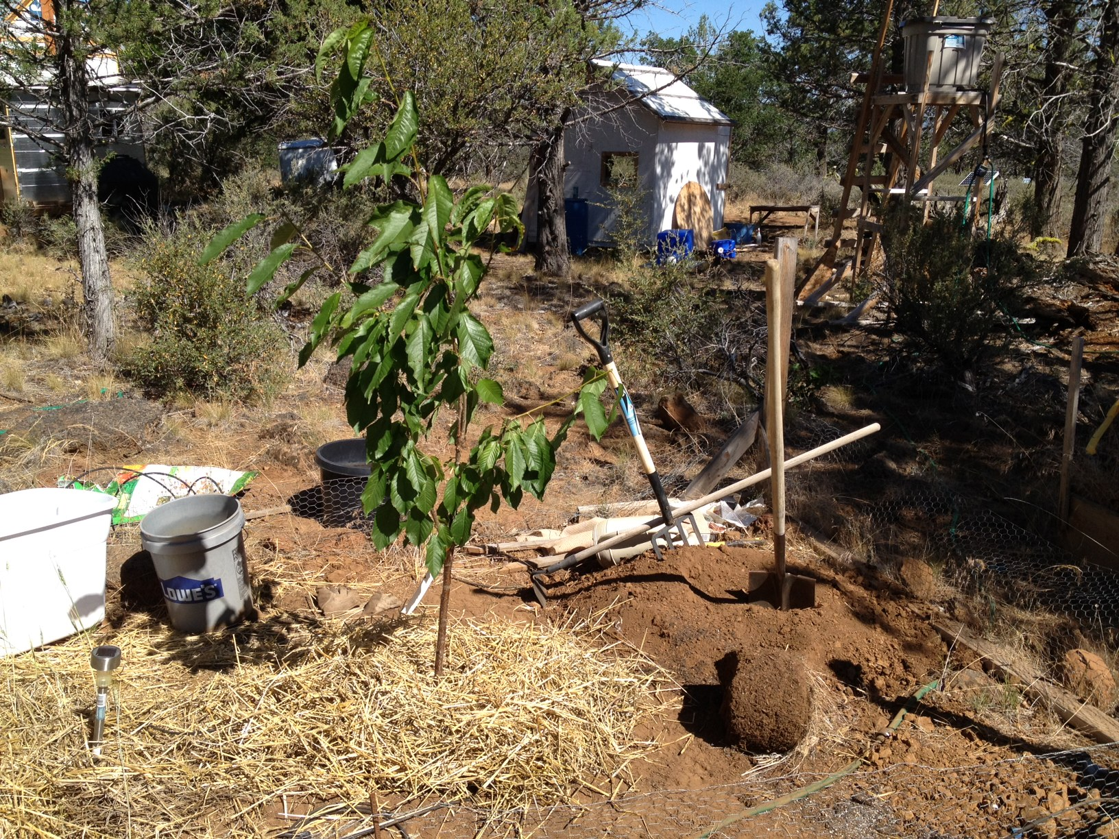 Как посадить черешню саженцами
