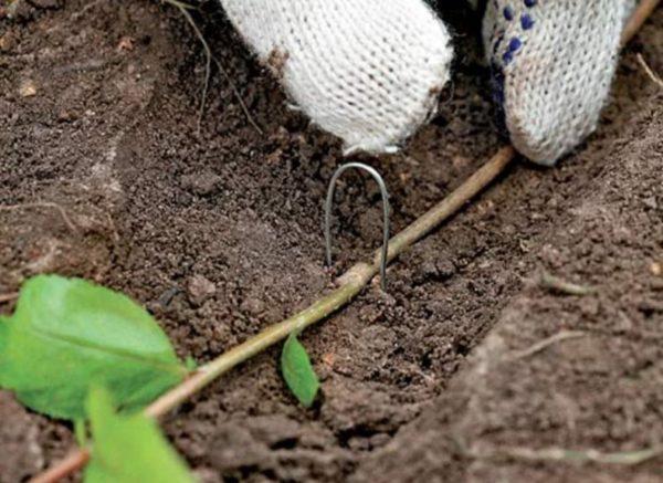Как размножить черноплодную рябину. Способы и рекоммендации